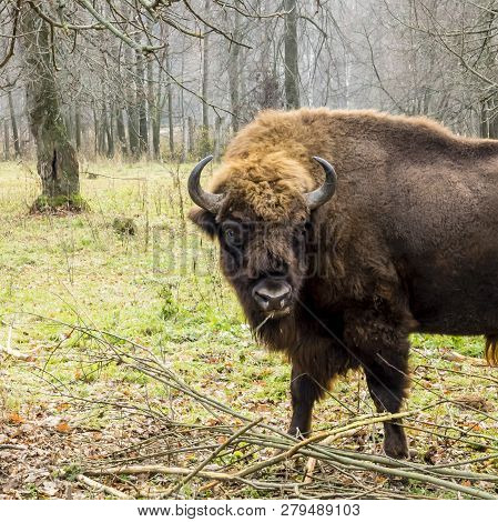 Aurochs In The Forest. The European Bison (bison Bonasus), Also Known As Wisent Or The European Wood