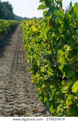 French Red And Rose Wins Grapes Plantation, Harvest Of Wine Grape In France On Domain Or Chateau Vin