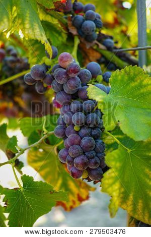 French Red And Rose Wine Grapes Plant, First New Harvest Of Wine Grape In France On Domain Or Chatea