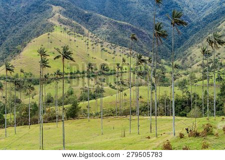 Tall Wax Palms In Cocora Valley, Colombia.