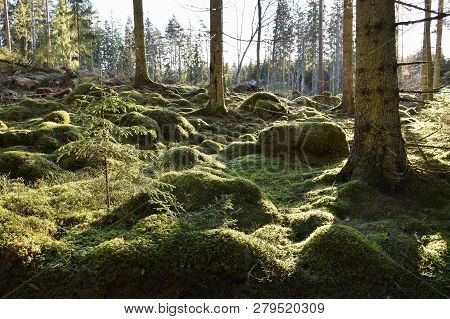 Beautiful Green Mossy Forest Ground In A Backlit Coniferous Forest