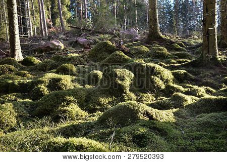 Green Mossy Forest Ground In A Coniferous Forest