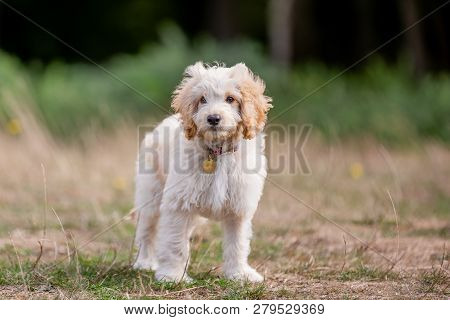 A Cockapoo Puppy Standing In A Field. A Cockerpoo Puppy Wearing A Collar With Curly Fur And Big Ears