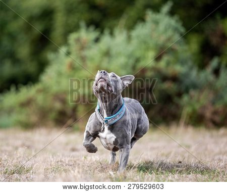 A Grey Or Blue Staffordshire Bull Terrier About To Jump For A Ball Or Stick In A Field. A Staffy In