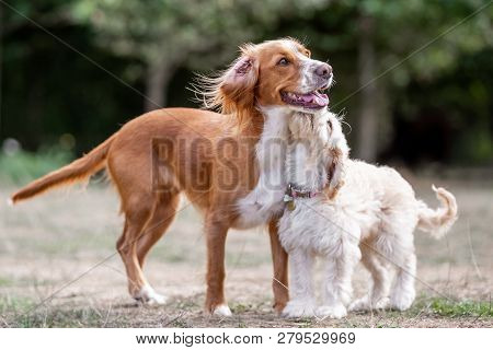 A Springer Spaniel Standing Close With A Cockerpoo In A Field. A Brown, Sandy And White Dog In A For