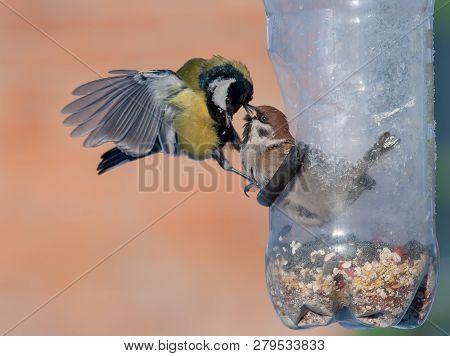 Eurasian Tree Sparrow And Great Tit Struggling Into Birdfeeder