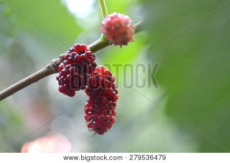 Mulberry Fruit, Morus Sp., Central Of Thailand