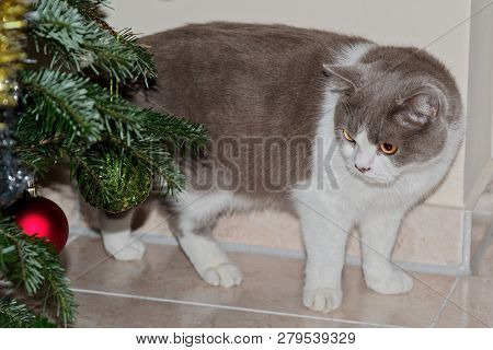 Cute Grey Cat Looking At The Christmas Tree Baubles