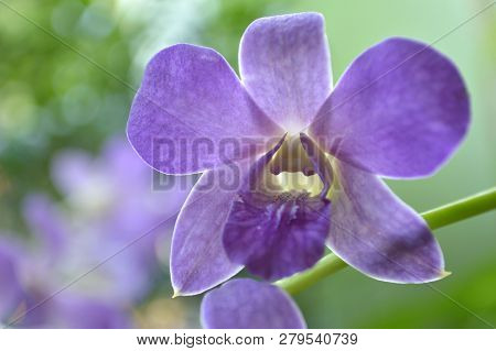 Purple Dendrobium Orchid From Central Of Thailand