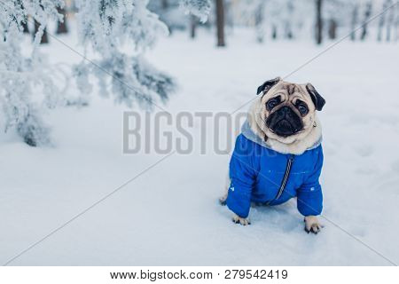 Pug Dog Walking On Snow In Park. Puppy Wearing Winter Coat