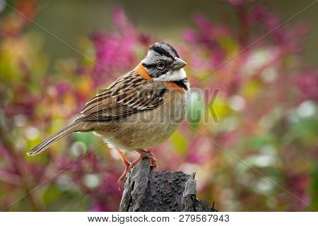 Rufous-collared Sparrow - Zonotrichia Capensis Is An American Sparrow Found In A Wide Range Of Habit