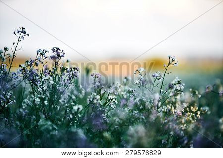 Field planting at sunset. white and lila purple flowers in the front, detail with bokeeh poster