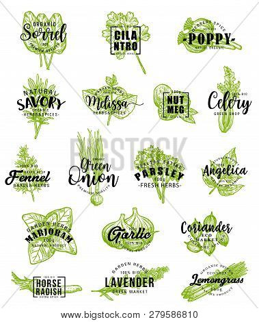 Herbs And Spice Icons With Lettering. Vector Sorrel And Cilantro, Poppy And Savory, Melissa And Nutm