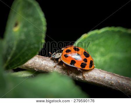 An Adult Asian Ladybeetle (harmonia Axyridis, Coccinellidae) Sitting On A Small Twig
