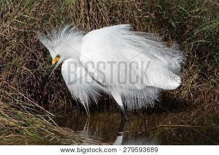 A Snowy Egret At Canaveral National Seashore Salt Marsh.