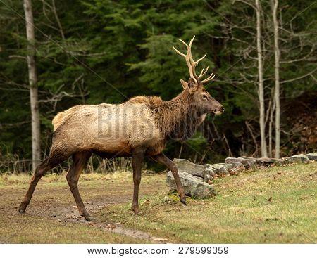 Elk Bull Walking