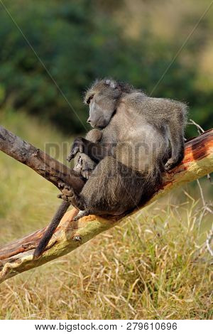Big male chacma baboon (Papio ursinus) in a tree, Mkuze game reserve, South Africa