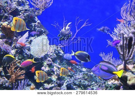 Underwater scene with beautiful tropical fish - hepatus; blue tang. On blue background. Copt space for text