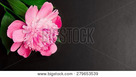 Panoramic Floral Background With Copy Space. Pink Peony Flower Close Up On Black Background. Blackbo