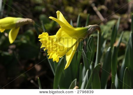 Daffodil From Side