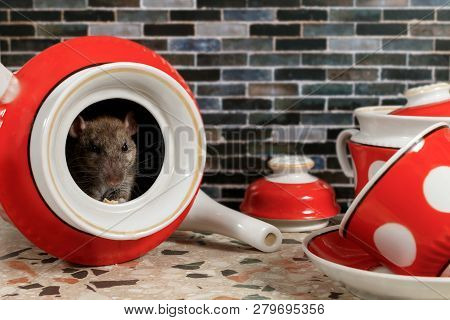 Close-up The Rat (rattus Norvegicus) Sits Inside Of Red Teapot  On Countertop At Kitchen In An House