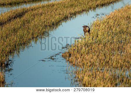 Marsh Harrier (circus Aeruginosus) Hunting In A Rice Field In The Natural Park Of Albufera, Valencia
