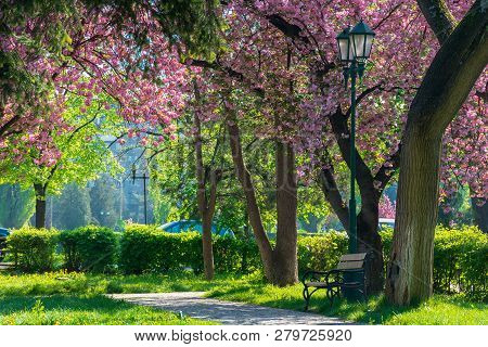 Bench Under The Lantern In A Park Among Cherry Blossom. Beautiful Urban Scenery. Wonderful Springtim