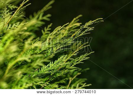 Background From Thuja Branches. Thuja Branches In The Dark. The Green Branches . Green Nature Backgr