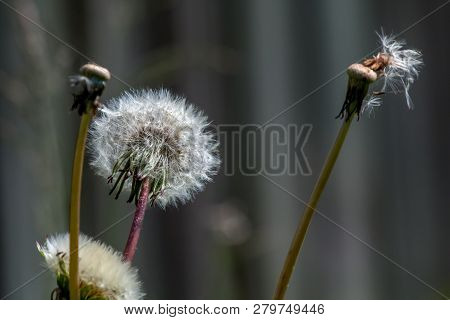 Beautiful White Dandelion Flowers On Gray Background.. Meadow With Dandelion Flowers. Nature Field F