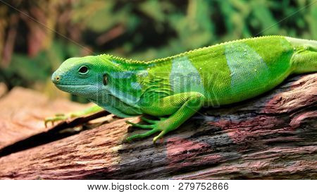 The Fiji Banded Iguana Lives On The Fiji Islands And On The Nearby Islands. The Wild Population Is L