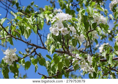 Blooming Pear Tree With White Beautiful Flowers. Pyrus Communis.