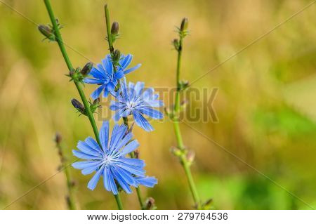 Common Flowers Of Chicory Or Cichorium Intybus, Commonly Called Blue Sailors, Chicory, Coffee Grass