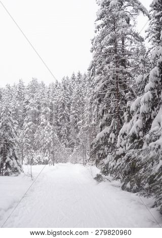 Spruce Forest At Winter In Karelian Isthmus, Russia.