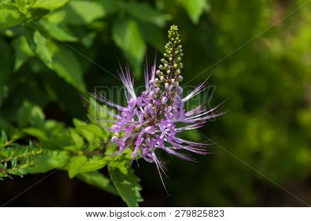 Purple flower of Purple Cat's Whiskers growing in tropical area (Orthosiphon aristatus)