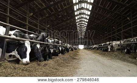 Cows Feeding Process On Modern Farm. Close Up Cow Feeding On Milk Farm. Cow On Dairy Farm Eating Hay