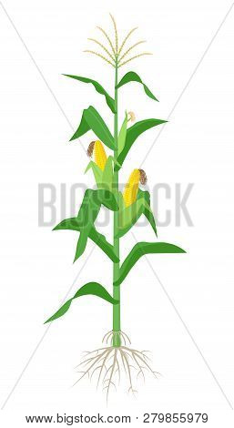 Maize Plant Isolated On White Background With Yellow Corncobs, Green Leaves And Roots Vector Illustr