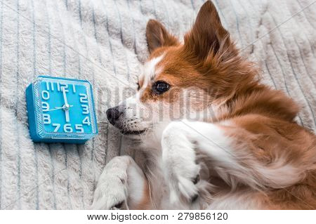 Dog Lies In Bed And Looks At The Alarm Clock. Concept Morning