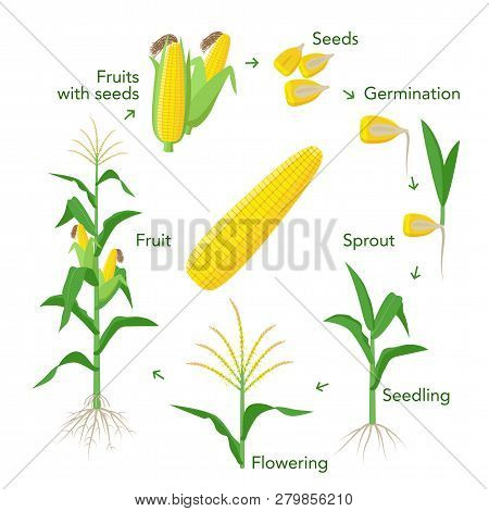 Maize Plant Growth Infographic Elements From Seeds To Fruits, Mature Corn Ears. Seedling, Germinatio