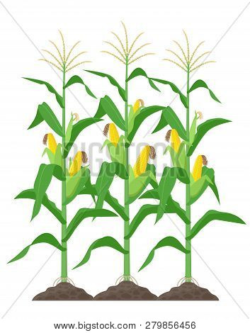 Corn Stalks Isolated On White Background. Green Corn Plants On The Field Vector Illustration In Flat