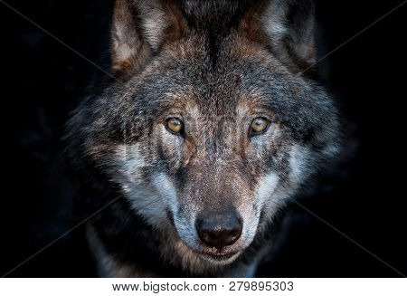 Close Up Portrait Of A European Gray Wolf On Dark Background