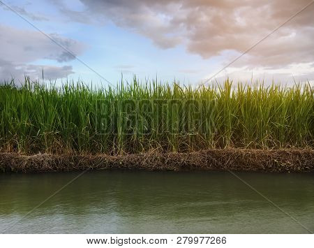 Rice Field With Sunrise Or Sunset And Flare Over The Sun In Moning Light