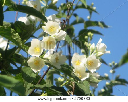 The Spring Jasmine...