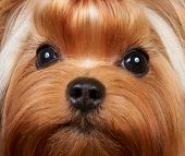 Portrait of the beautiful Yorkshire Terrier with long eyelashes poster