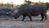 Rhino walking in the  wild field . poster