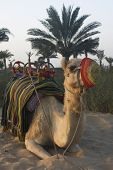 Arabian Camel waiting on the next rider for a trip across the desert. poster