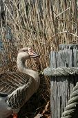 Goose standing next to wooden post in front of grass poster