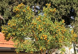 Many Loquat Fruit On The Tree Branches