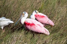 Roseate Spoonbills Resting In The Florida Sun.