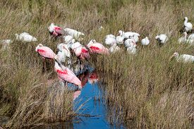 Roseate Spoonbills And White Ibis In A Salt Marsh.