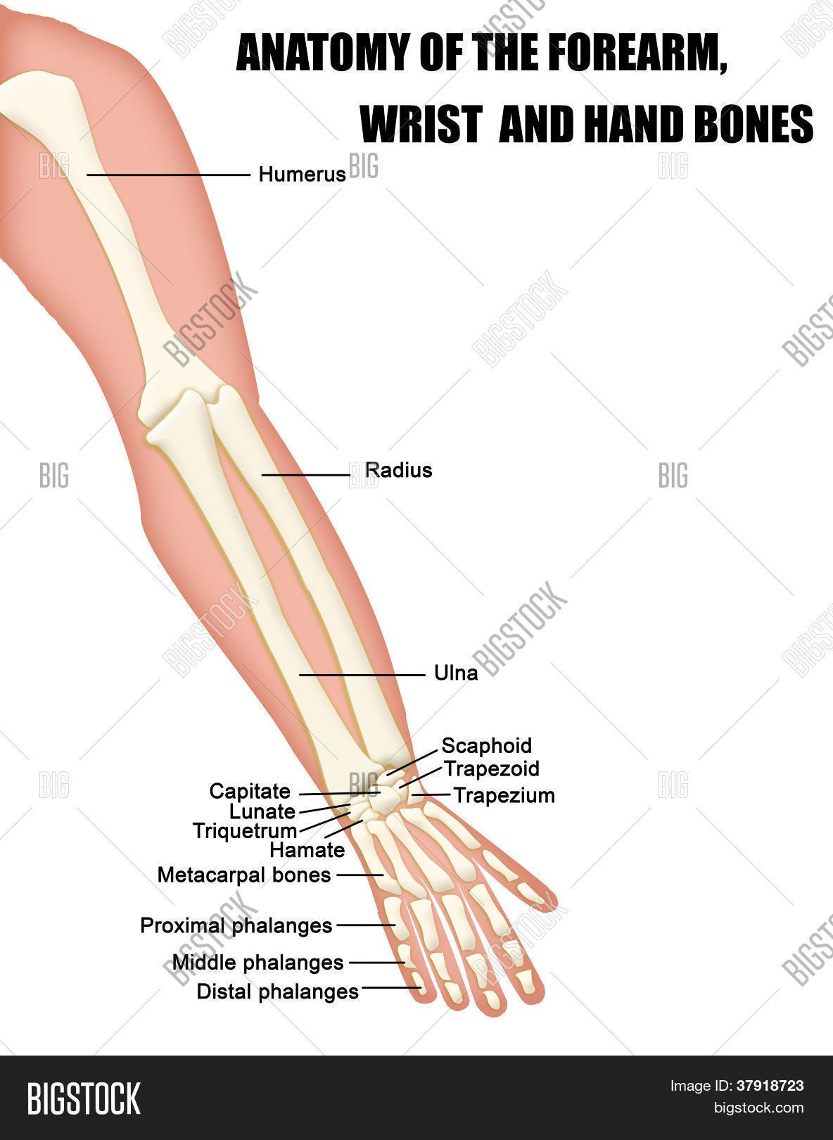 Anatomy Forearm, Wrist Hand Bones Vector & Photo | Bigstock